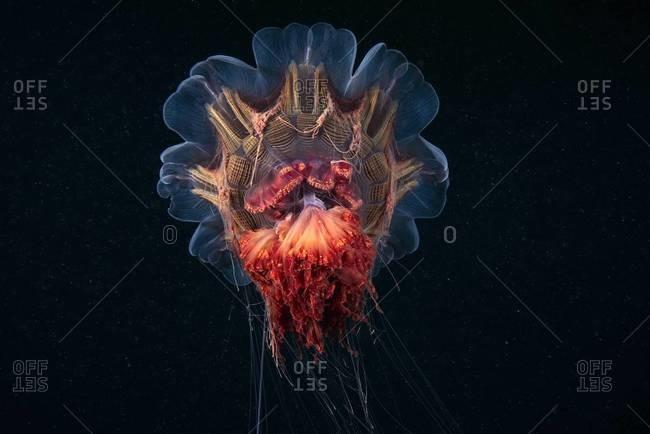 Illuminated lion's mane jellyfish in ocean