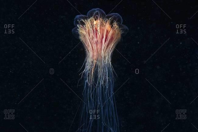 Illuminated lion's mane jellyfish in sea