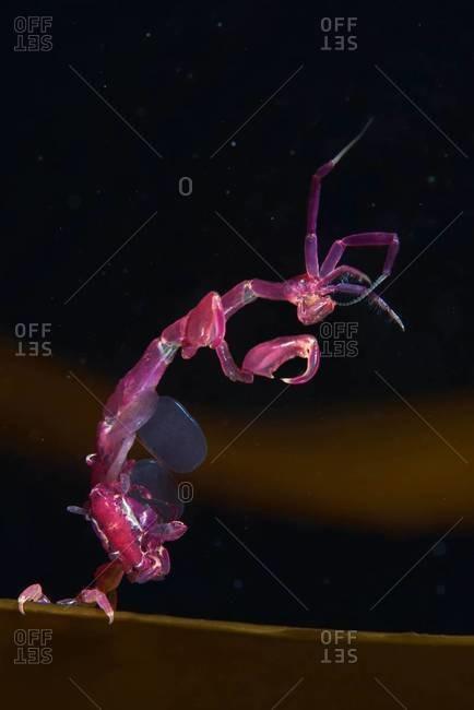 A skeleton shrimp in ocean