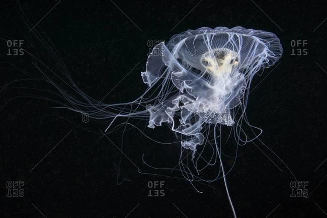 Egg yolk jellyfish in the sea