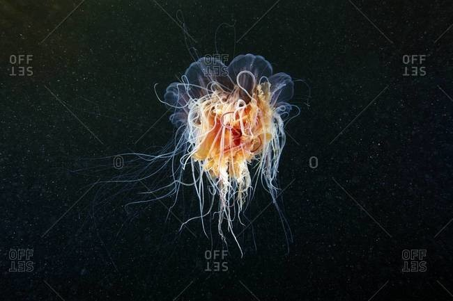 Illuminated lion's mane jellyfish in the ocean