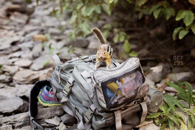 Chipmunk investigating a hiker's backpack