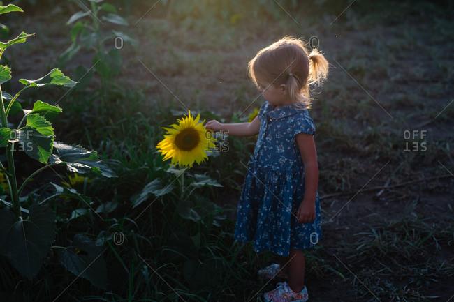 A little girl looks at a sunflower