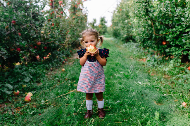 Toddler girl standing in apple orchard eating a freshly picked apple