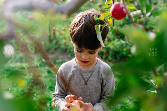 Boy examining his freshly picked apple in orchard
