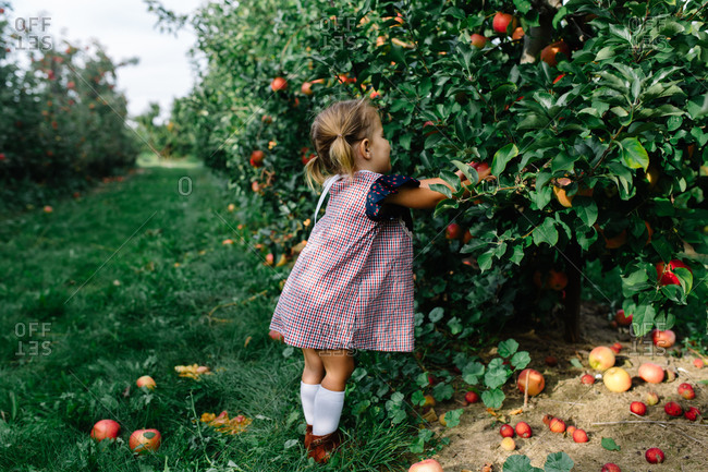 Toddler girl reaching into an apple tree