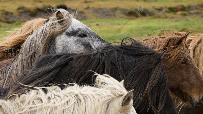 Wild horses on a plain in Iceland