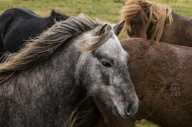 Wild horses on an Icelandic plain