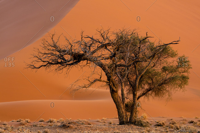 Camel thorn tree at Dune 45 in Namibia