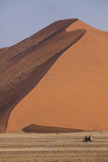 Gemsbok and sand dune in Namibia