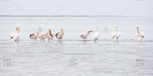 Ten pelicans standing in water in Namibia