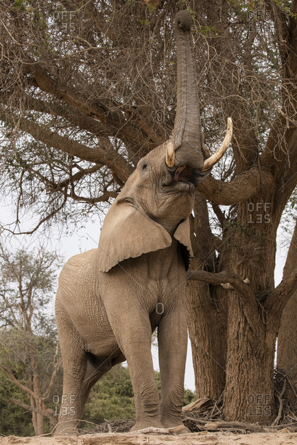 Desert elephant tugging on an ana tree in Namibia