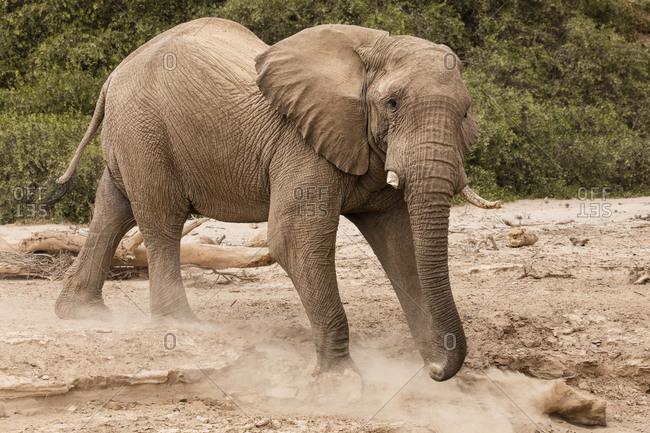 Desert elephant walking down embankment in Namibia