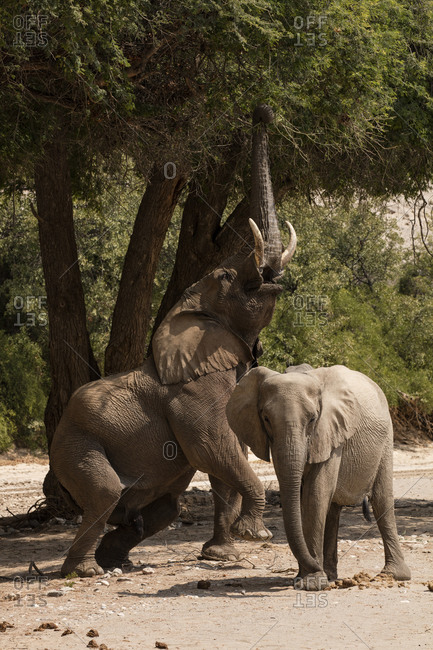 Desert elephant bull reaching into an ana tree in Namibia