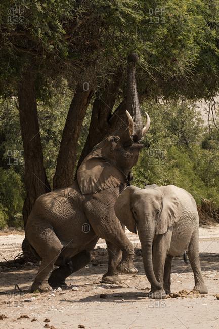 Desert elephant bull reaching into an ana tree in Namibia