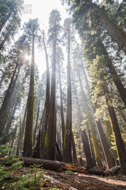 Sun shining through tall trees in a forest
