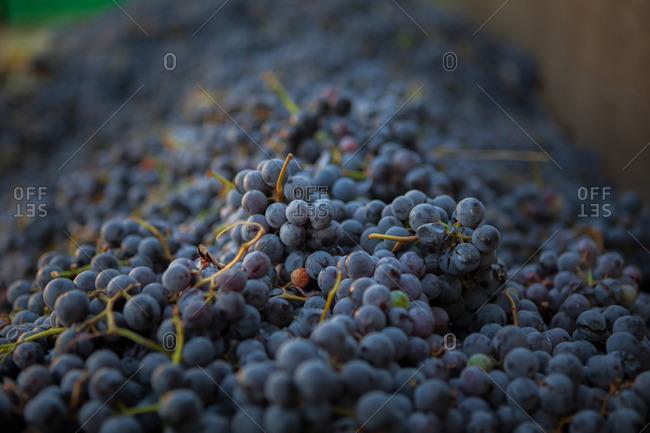 Stacks of fresh grapes