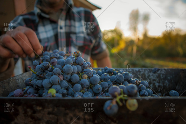 Man holding the stem of a bunch of fresh grapes