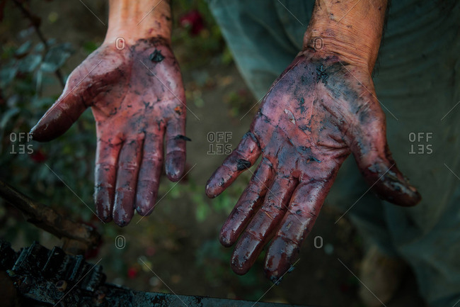 Man's hands stained with grape juice