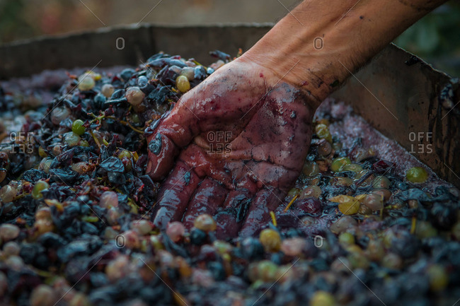 Hand of a man crushing grapes to make wine