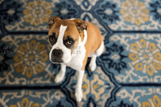 Overhead view of boxer dog on patterned carpet