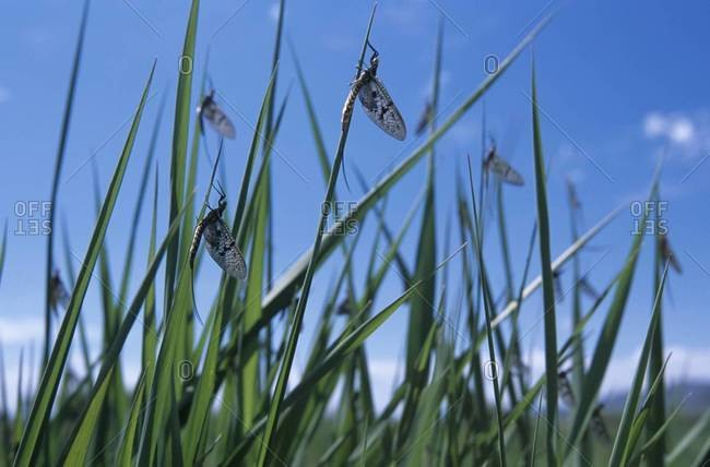Brown Drake insects perched on blades of tall grass