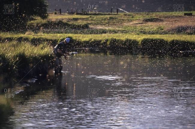 Fisherman in river at dusk with flies swarming in the sunlight