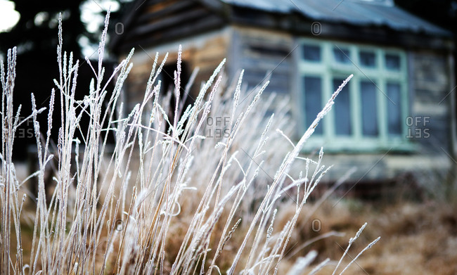 Frost on tall grass