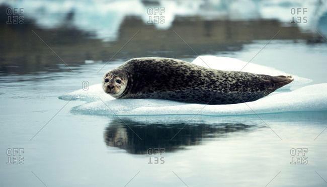 A spotted seal on floating ice