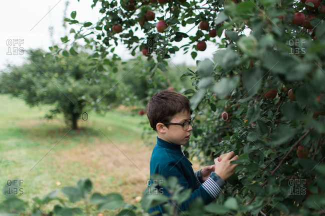 Young boy picking apples