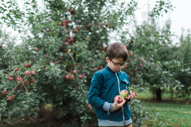 Young boy looking at apples he just picked