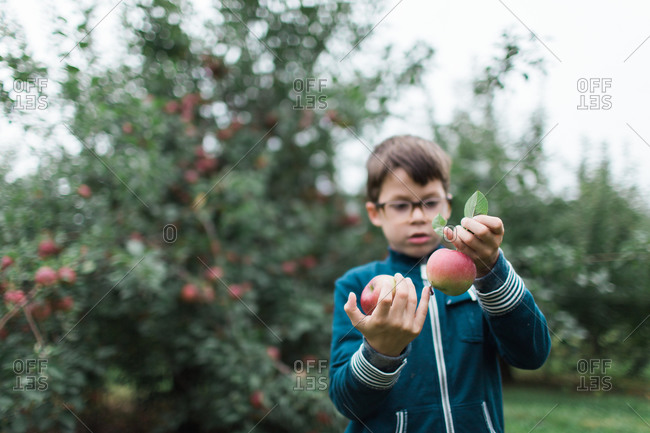 A boy with two apples in an orchard