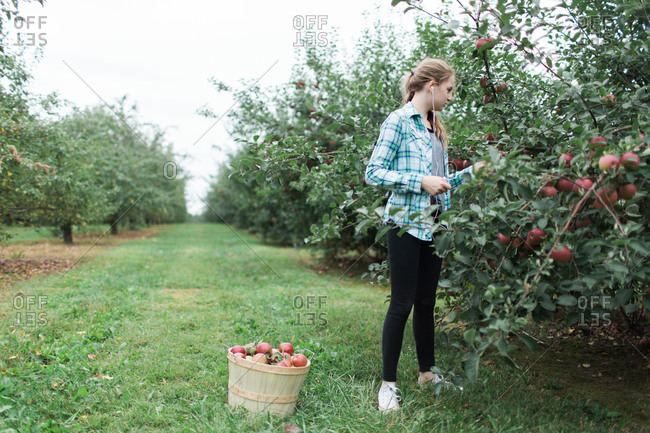 A young girl picking apples