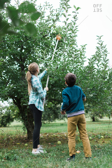 Sister and brother picking apples with pole picker