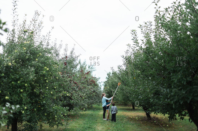 Sister and brother picking an apple with pole picker