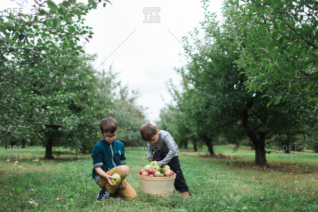 Two boys pick apples in an orchard