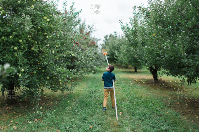 Young boy looking for apples to pick with fruit pole picker