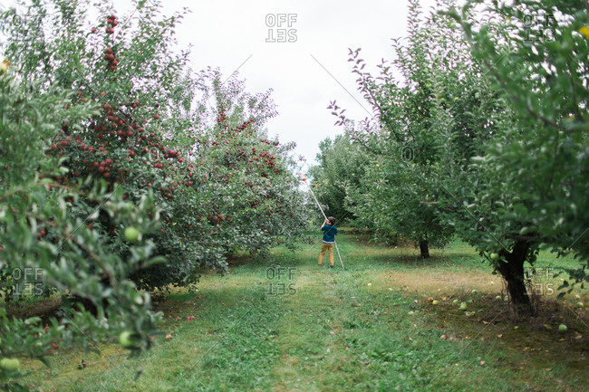 Young boy picking apple with fruit pole picker