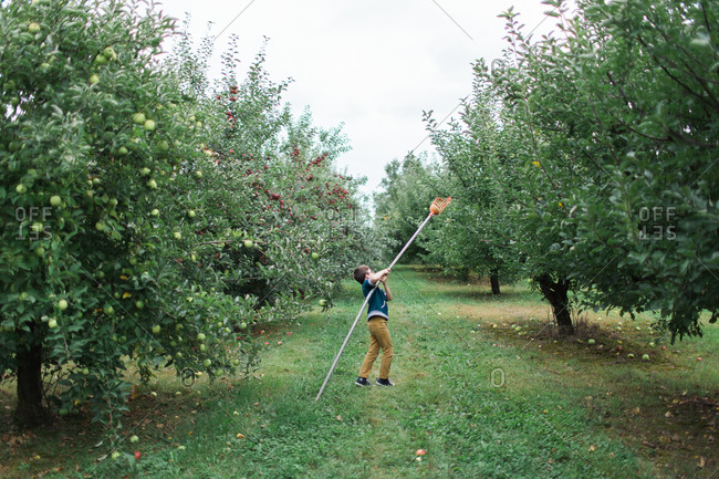 Young boy getting ready to pick an apple
