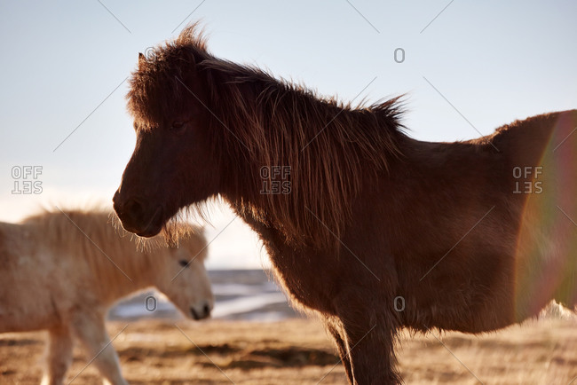 Two horses on a farm in Iceland