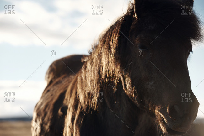 Horse on a farm in Iceland