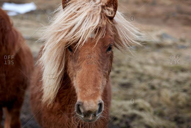 Portrait of an Icelandic horse in a field