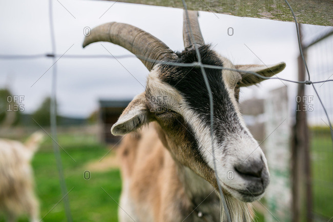Portrait of a goat behind a fence