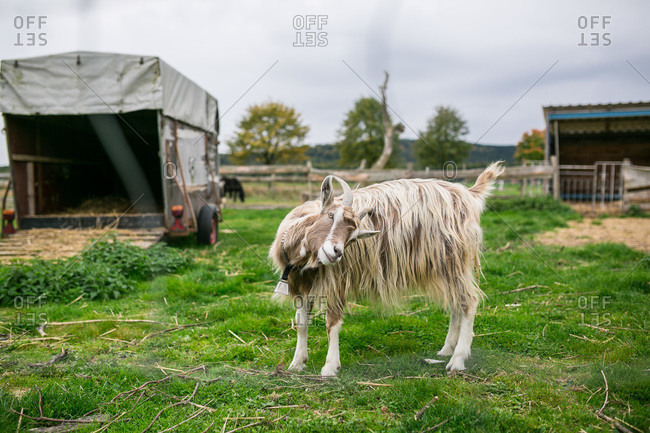 Goat wearing a bell on a farm