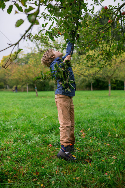 Boy reaching up to pick apples