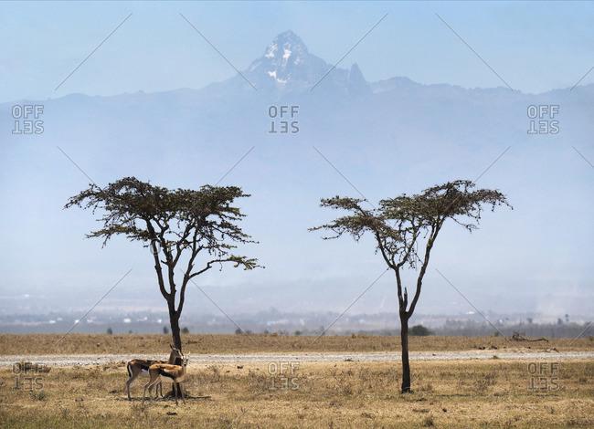 Acacia trees with Mount Kenya on Ol Pejeda Conservancy, Central Kenya, East Africa, Africa