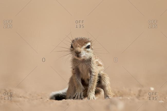 Baby Cape ground squirrel (Xerus inauris), Kgalagadi Transfrontier Park, South Africa, Africa