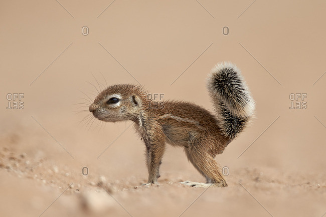 Baby Cape ground squirrel (Xerus inauris), Kgalagadi Transfrontier Park, South Africa, Africa