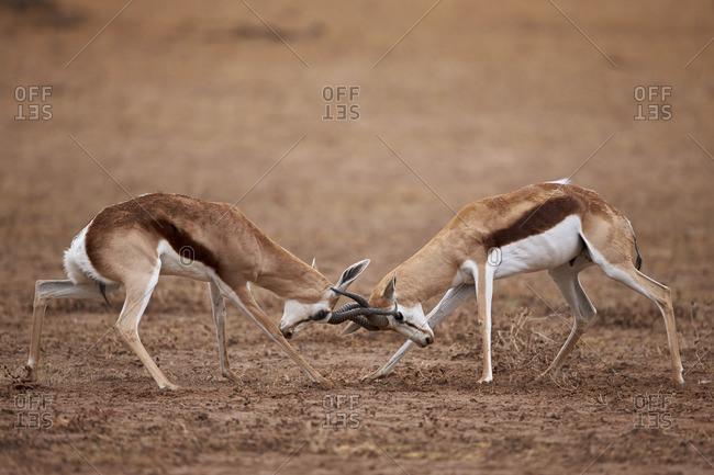 Two springbok (Antidorcas marsupialis) bucks fighting, Kgalagadi Transfrontier Park, South Africa, Africa