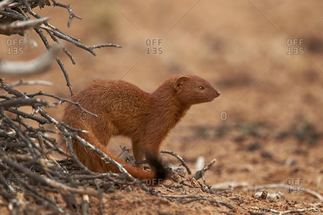 Slender mongoose (Galerella sanguinea), Kgalagadi Transfrontier Park, South Africa, Africa